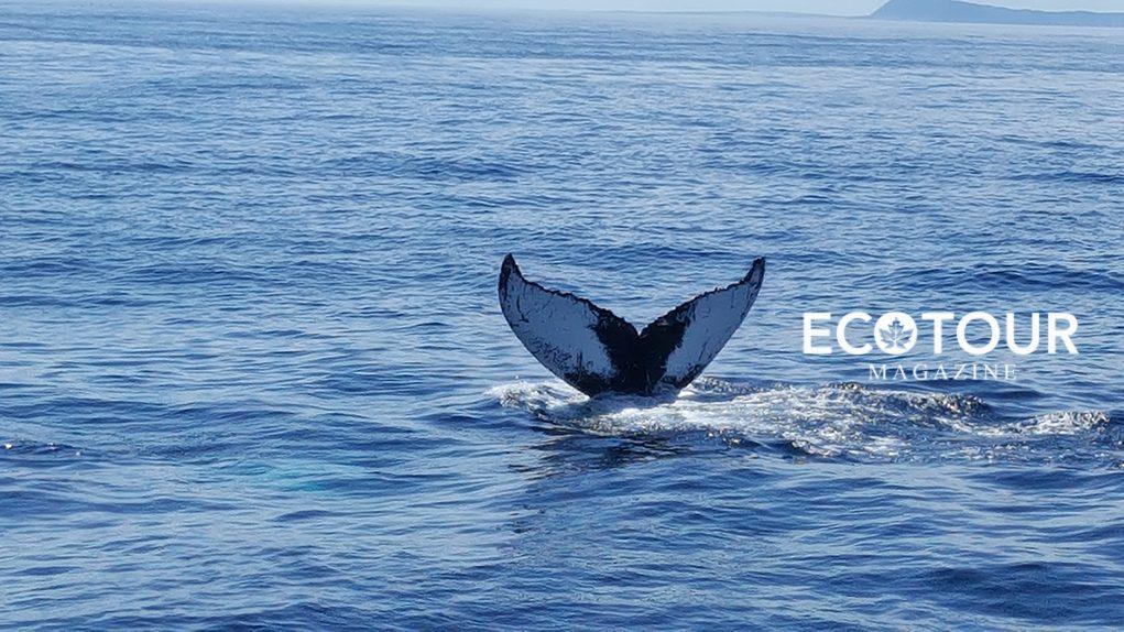 Canada - Laurel Stowe Trip - Humpback Whale1021